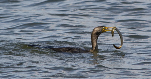 Cormorant eating an American Eel