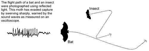 Flight path of a bat