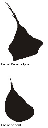Comparison of Canada Lynx and Bobcat Ear