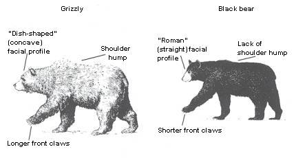 Grizzly Bear and Black Bear Comparison