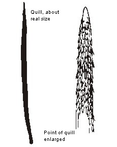 Porcupine quill characteristics