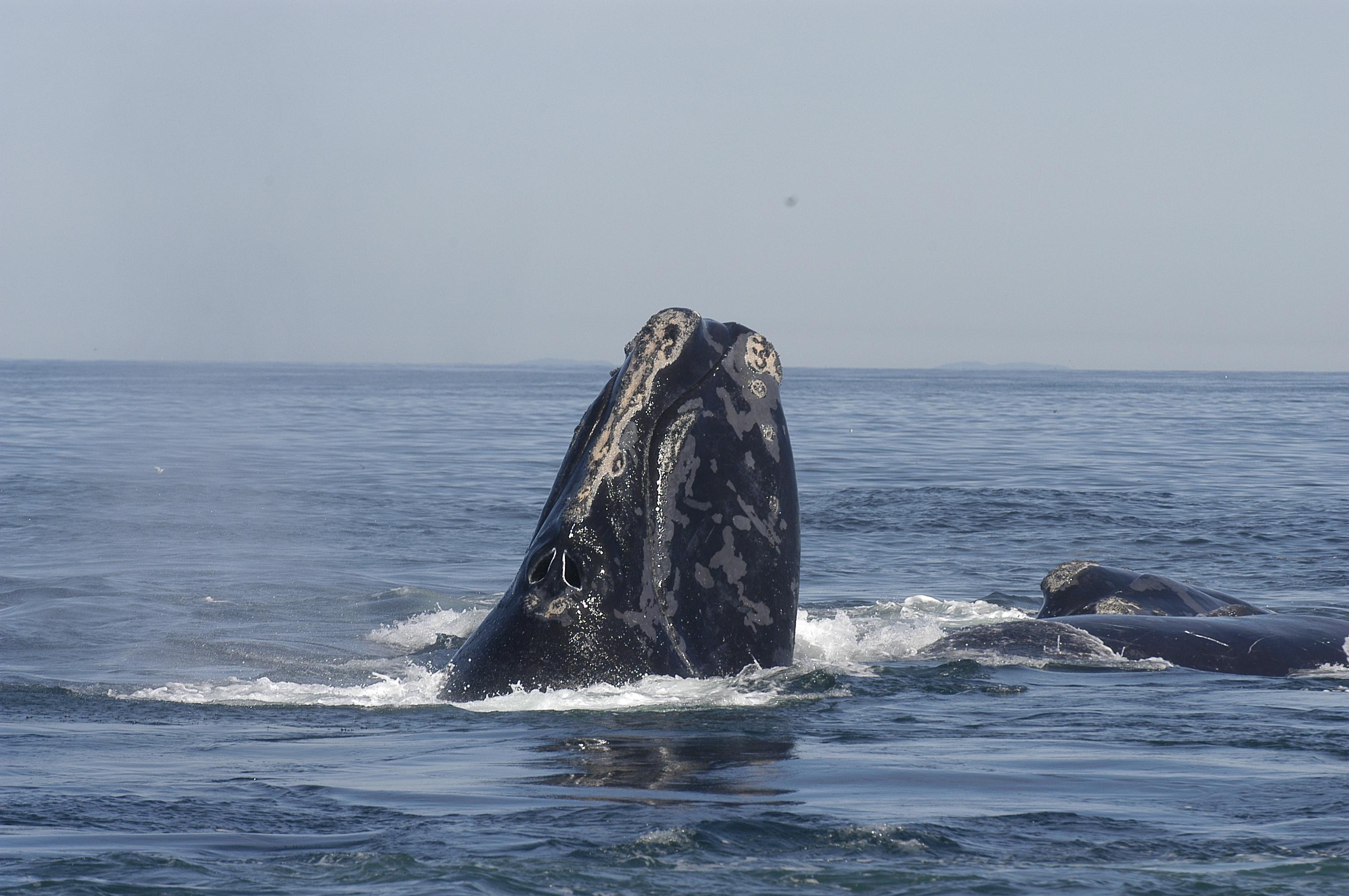 Baleine noire de l'Atlantique nord