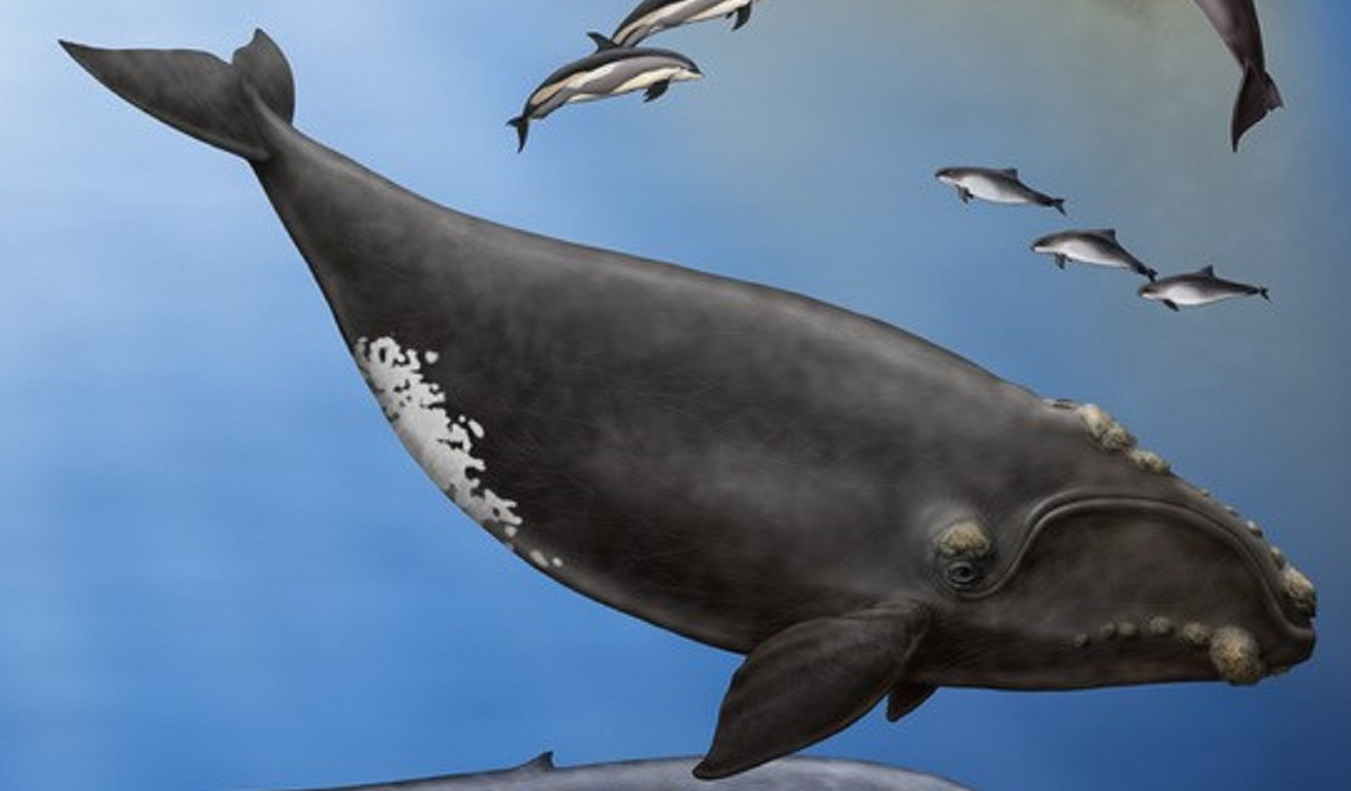 Illustration of North Atlantic Right Whale