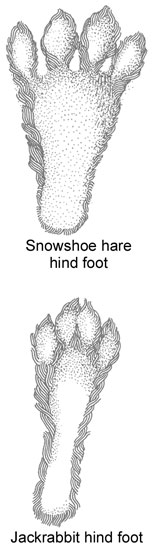 Snowshoe Hare and Jackrabbit hind food comparison