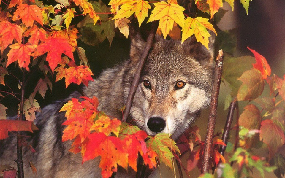wolf and maple