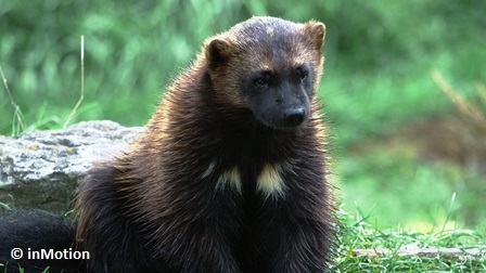 A Wolverine, with the pale markings on its chest