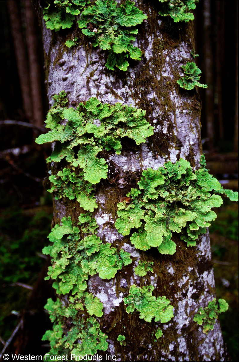 Tree covered in bryophytes