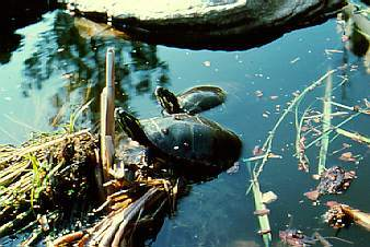 Turtles sunning themselves in wetlands