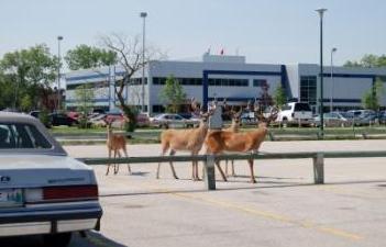 deer-in-the-parking-lot