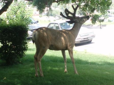 deer-on-lawn