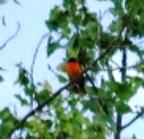red-bird-kim-july-08