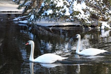 swans-001