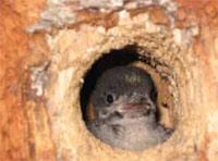 woodpecker-baby