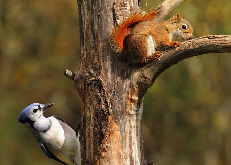 Blue Jay and Red Squirrel
