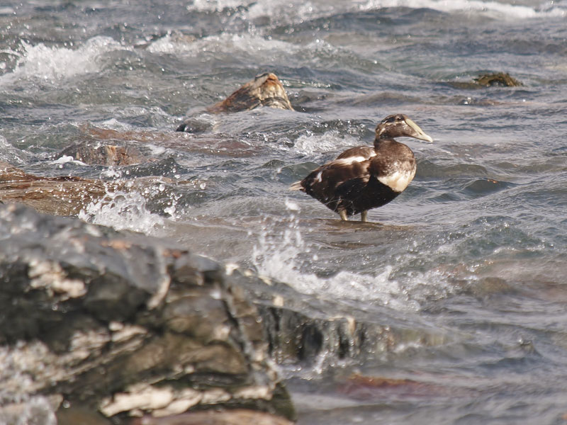 Common Eider during moult