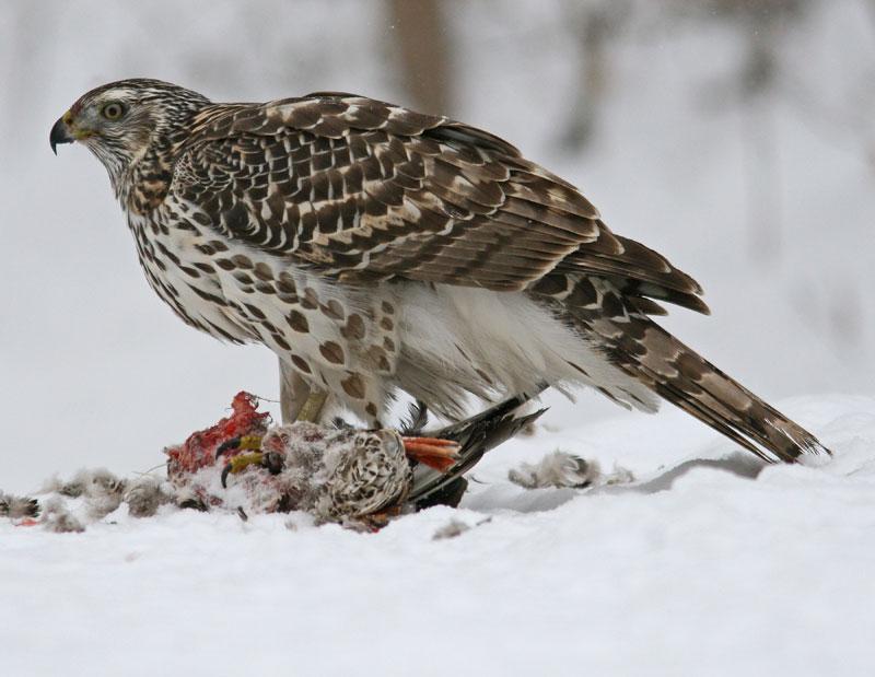 Hinterland Who S Who Sharp Shinned Hawk Cooper S Hawk And Northern Goshawk