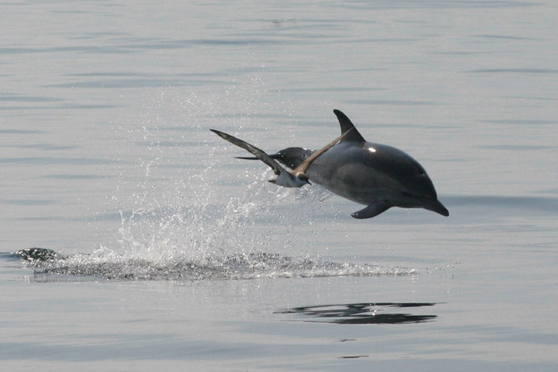 Dolphin and Greater Shearwater
