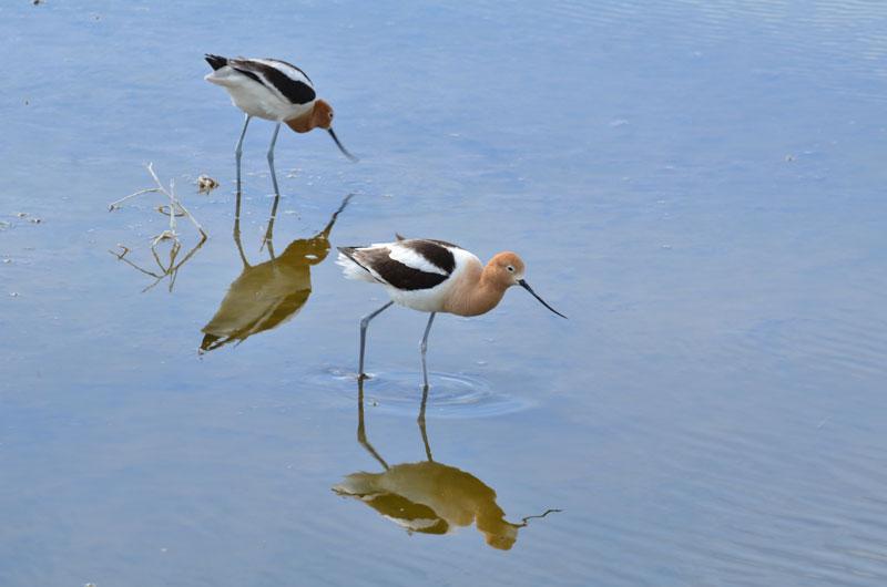 Les oiseaux de rivage
