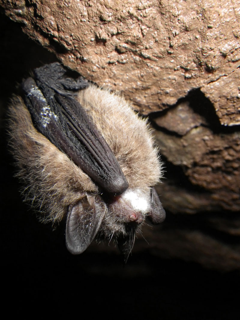 Tricolored Bat with White-nose Syndrome