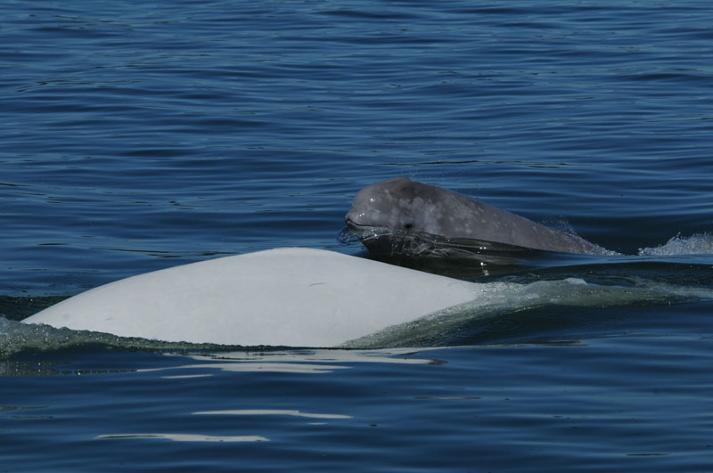 Beluga and calf
