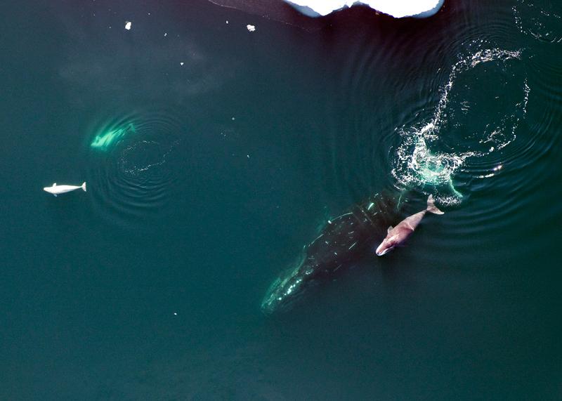 Bowhead Whale, calf and belugas