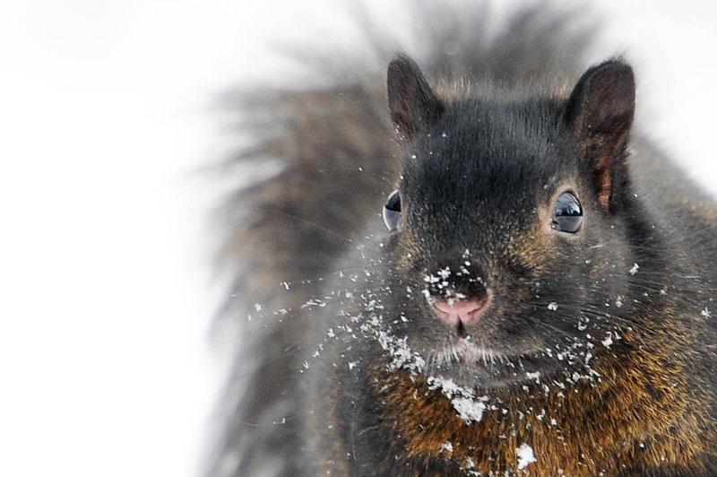 L'écureuil gris de l'Est