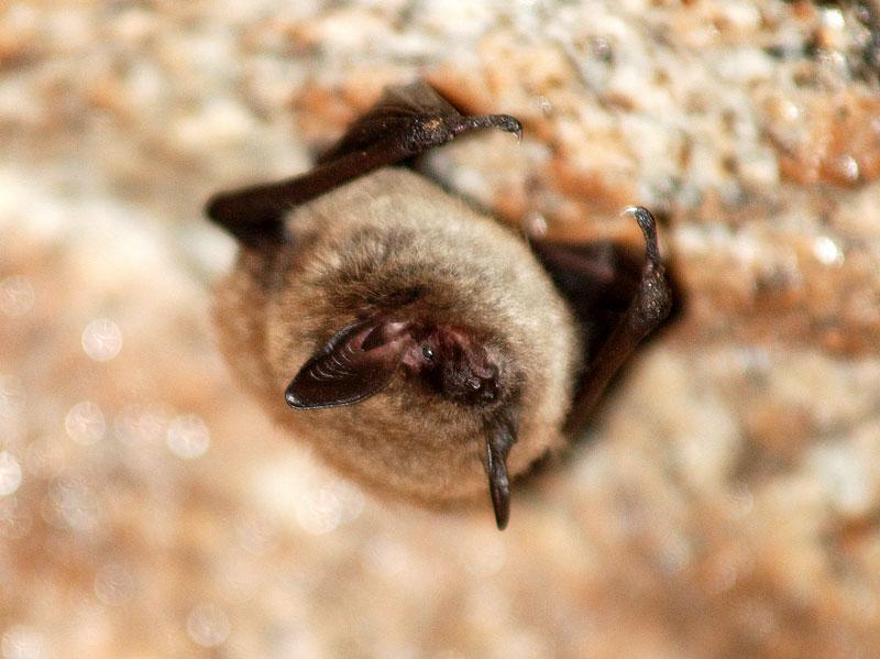 La petite chauve-souris brune