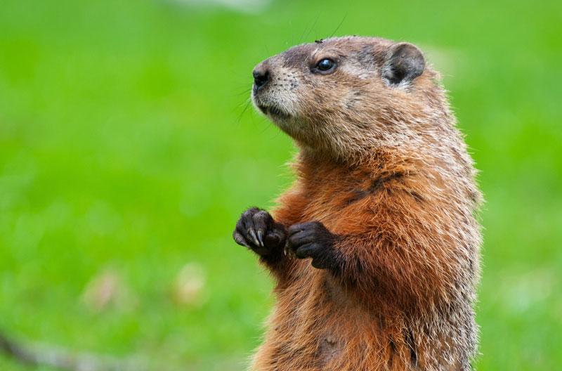 Marmotte commune