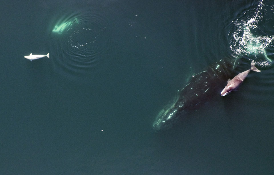 La baleine boréale