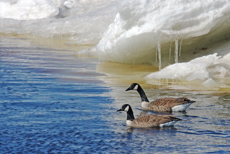 Canada Geese in the St. Lawrence Estuary