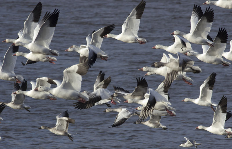 Snow Geese in the St. Lawrence Estuary
