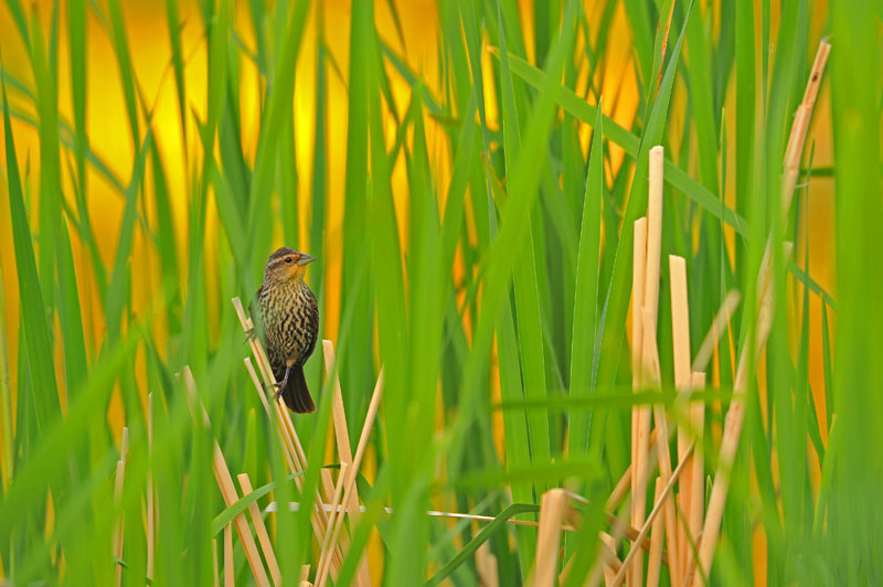 Redwing Blackbird in marsh