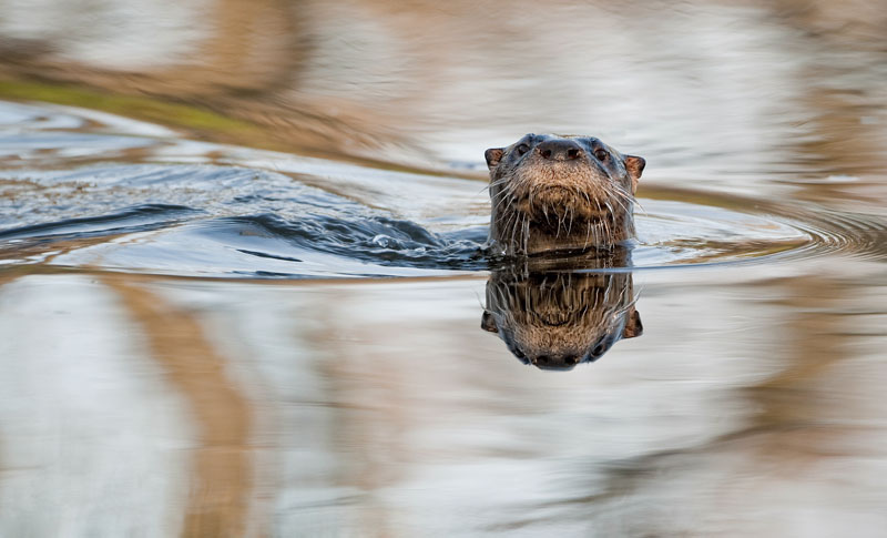 River Otter in a pond