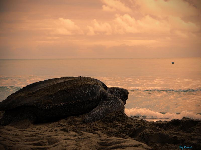 La tortue luth