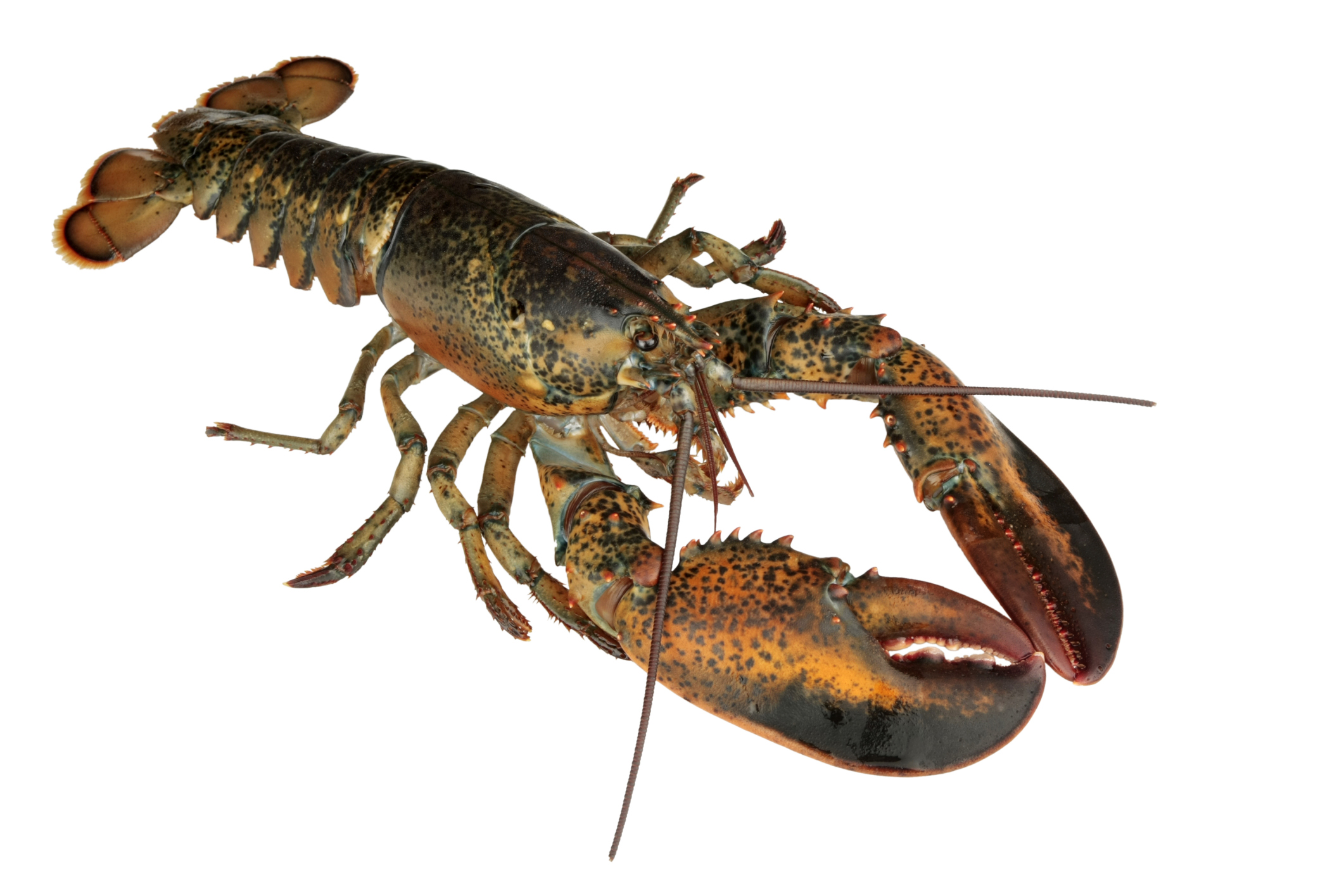 North American Lobster