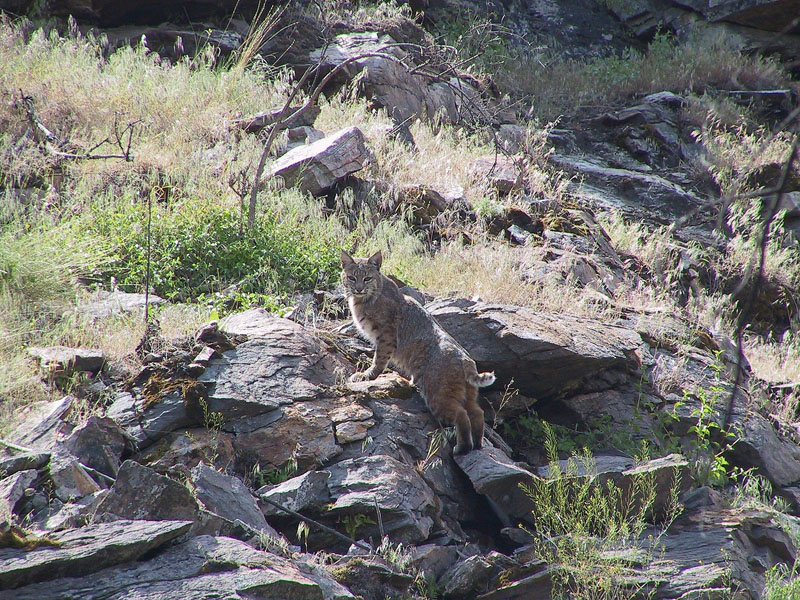 Bobcat in Vaseux Bighorn National Wildlife Area