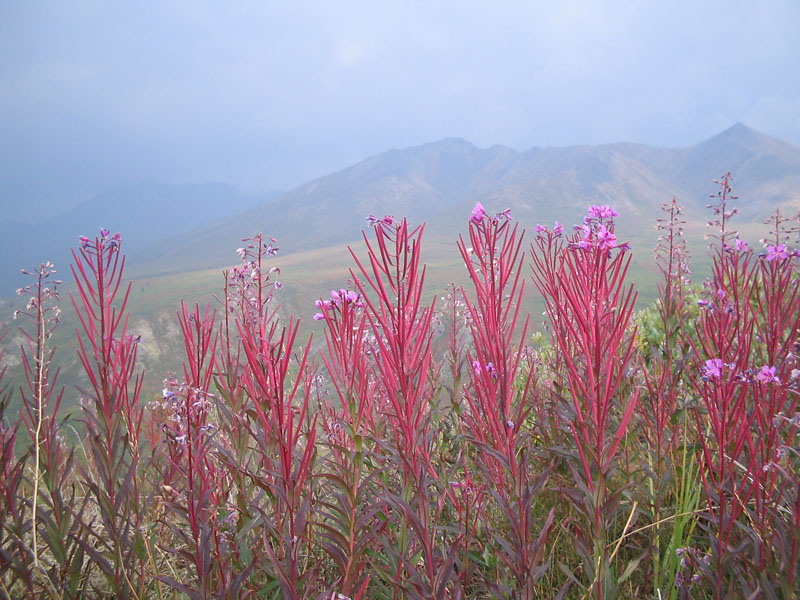 Fire Weed at Nisutlin National Wildlife Area