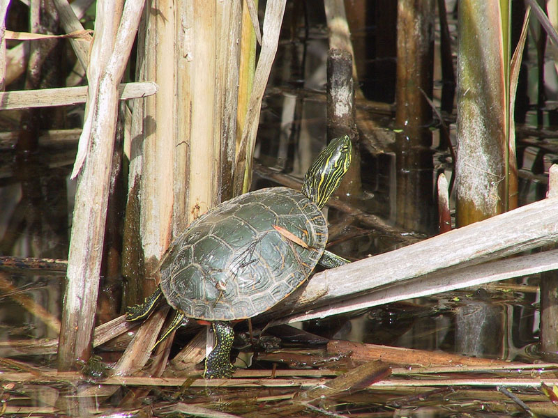 Painted Turtle in Vaseux Bighorn National Wildlife Area