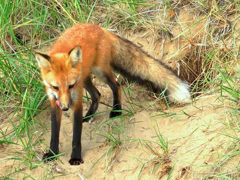 Le renard roux