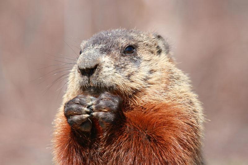 La marmotte commune