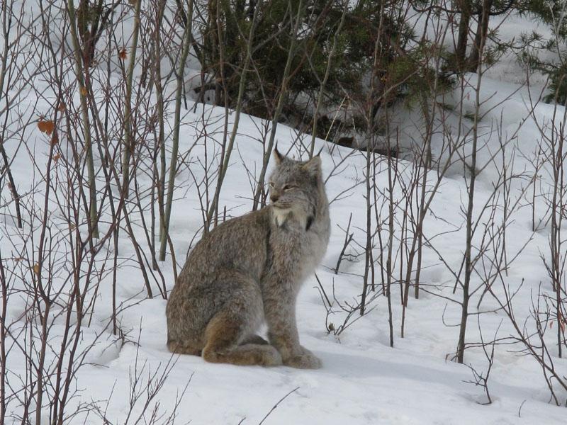 Winter Canada Lynx