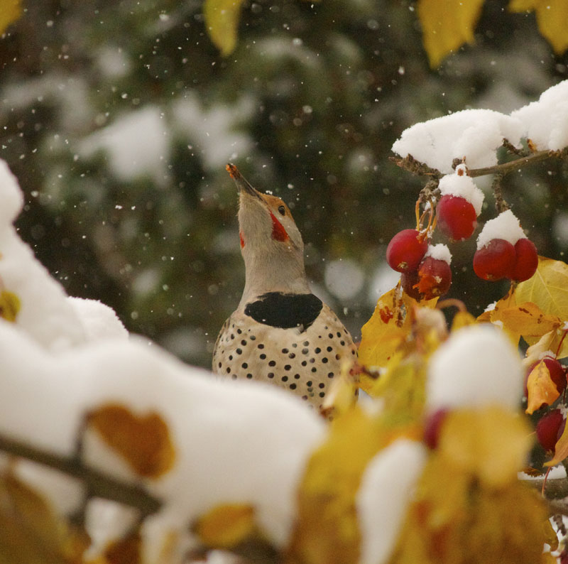 Winter Yellow-shafted Flicker